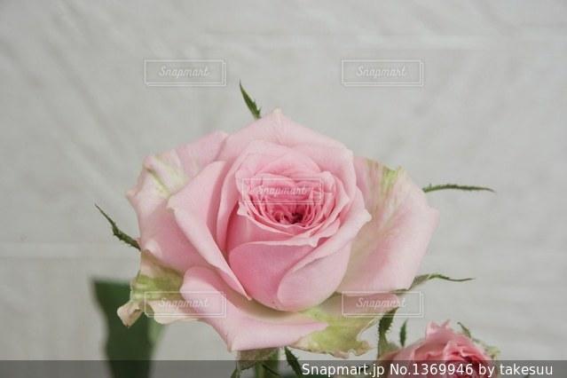 スプレーバラのピルエットの写真・画像素材[1369946]