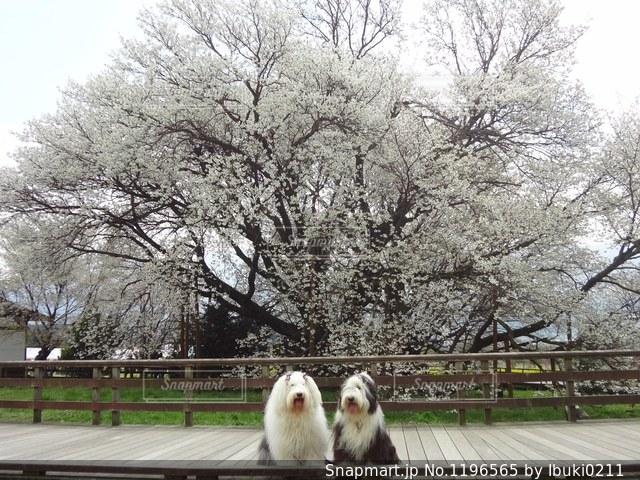 一心行の大桜満開です。の写真・画像素材[1196565]