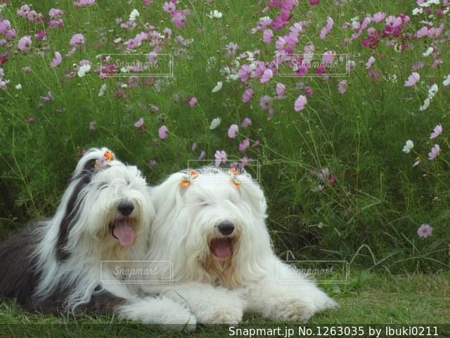 コスモス畑で休憩。の写真・画像素材[1263035]