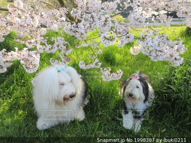 二人のお花見🌸の写真・画像素材[1998387]