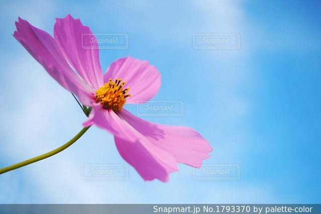 秋桜の空の写真・画像素材[1793370]