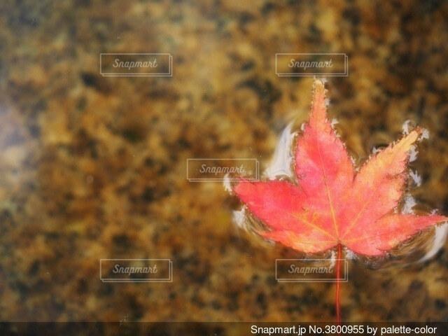 水面に紅葉楓一葉の写真・画像素材[3800955]