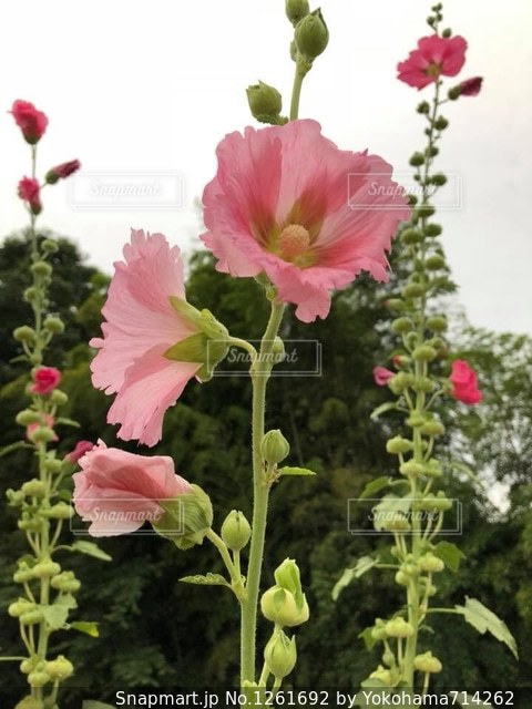 梅雨の花タチアオイの写真・画像素材[1261692]