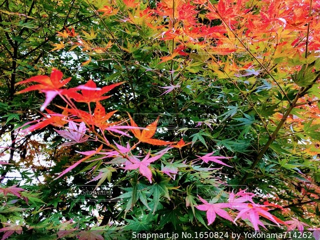 晩秋の紅葉狩りの写真・画像素材[1650824]