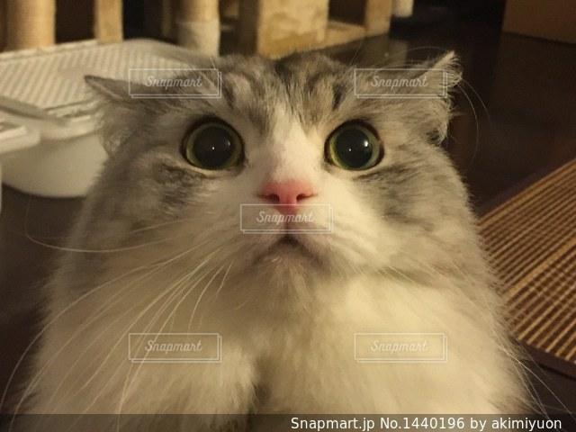 カメラを見ている猫の写真・画像素材[1440196]