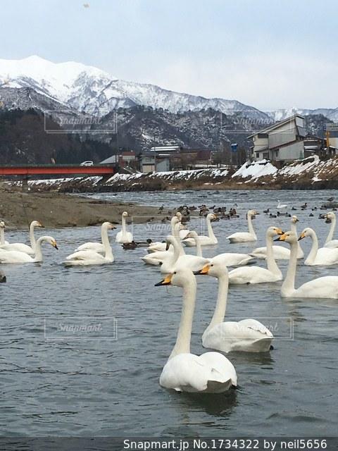白鳥と冬景色の写真・画像素材[1734322]