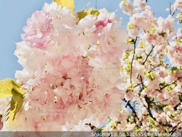 八重桜の写真・画像素材[1386954]