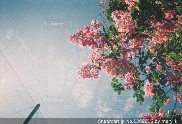 木にピンクの花のグループの写真・画像素材[1369016]
