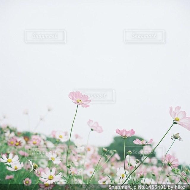 コスモス畑の写真・画像素材[1456401]