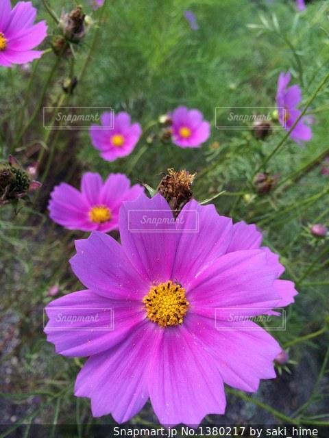 コスモスの蜜につられての写真・画像素材[1380217]