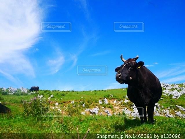 秋を感じる牛の写真・画像素材[1465391]