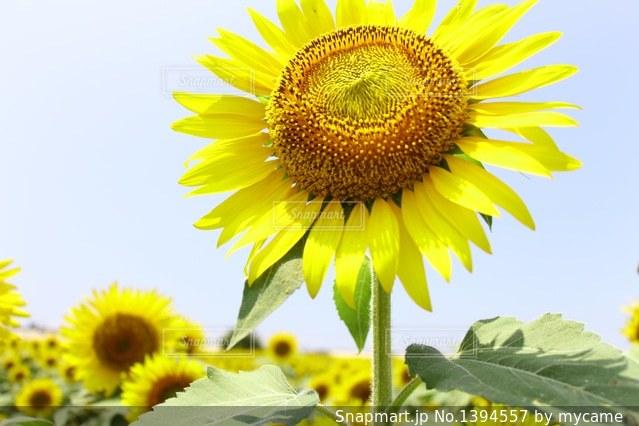 ずっとあなただけを見てる花の写真・画像素材[1394557]