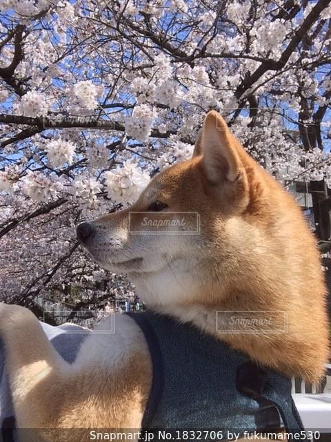 カメラを見て犬の写真・画像素材[1832706]