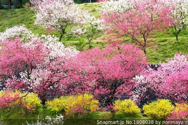 阿智村の可憐な花桃風景の写真・画像素材[1808038]