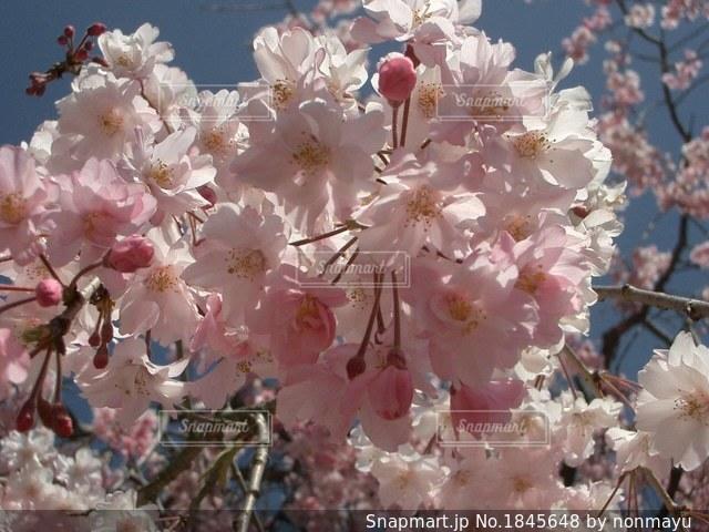 善峯寺の淡いピンクの美しい満開の桜の写真・画像素材[1845648]
