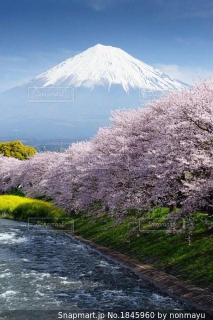 富士山と桜と菜の花の春の風景の写真・画像素材[1845960]