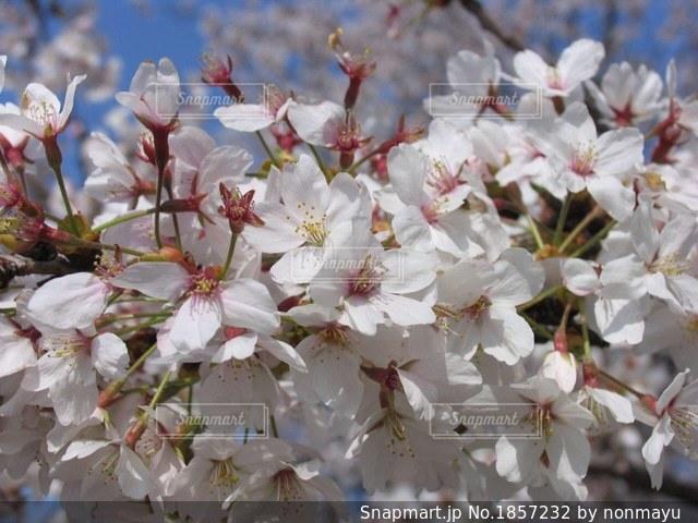 満開の桜の花びらに想いを重ねての写真・画像素材[1857232]