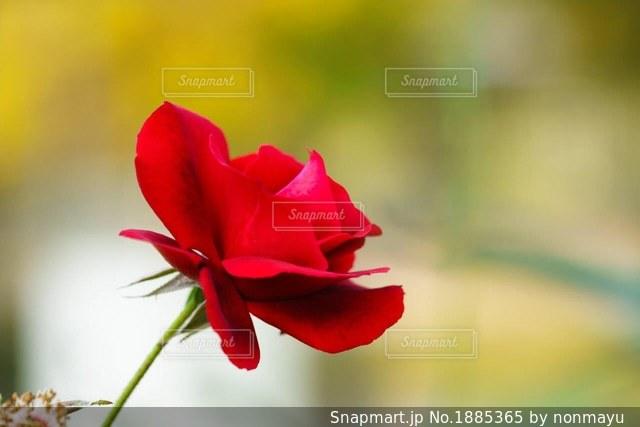 想い出一杯の一輪の真っ赤なバラの写真・画像素材[1885365]
