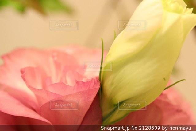 可愛いファンシーなバラの花びらの写真・画像素材[2128609]