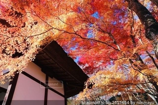 お寺の美しい繊細な紅葉の写真・画像素材[2515654]