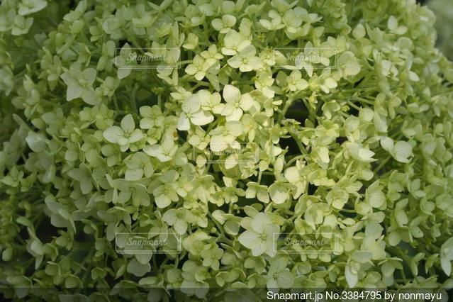幻想的な紫陽花の写真・画像素材[3384795]