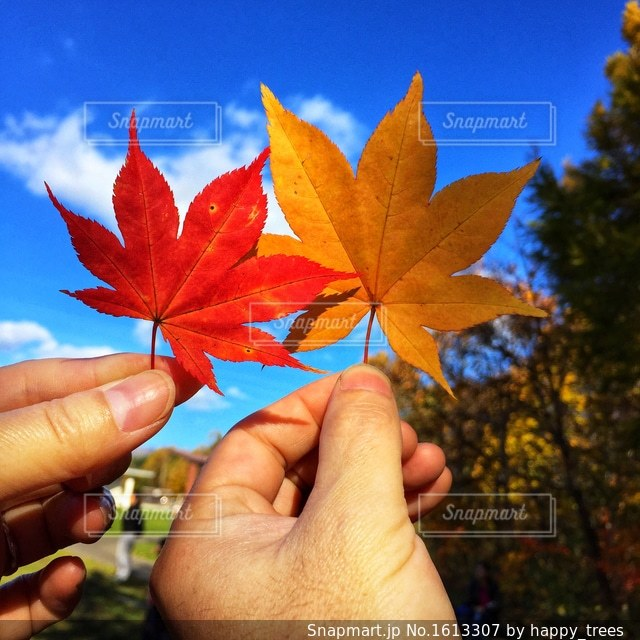 カップルで紅葉した葉っぱを持つ手の写真・画像素材[1613307]
