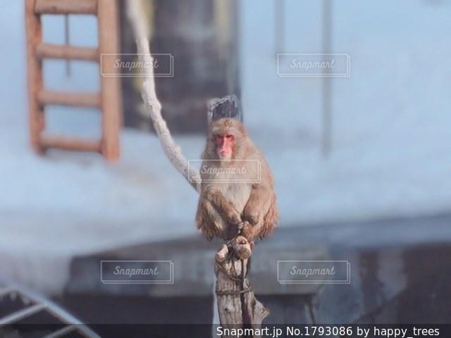函館熱帯植物園の猿の写真・画像素材[1793086]