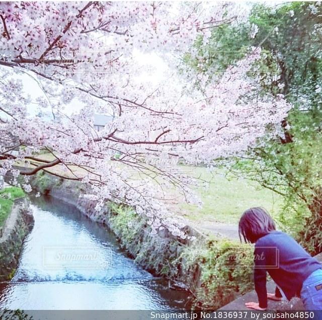 川に映る桜を見る女の子の後姿の写真・画像素材[1836937]