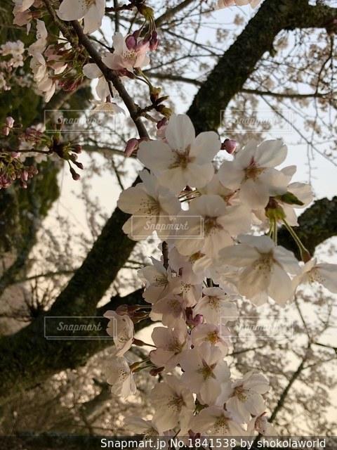 木の花の花瓶の写真・画像素材[1841538]