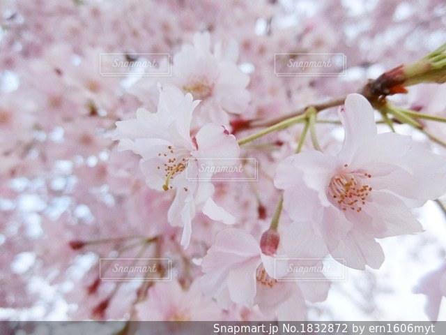 近くの花のアップの写真・画像素材[1832872]