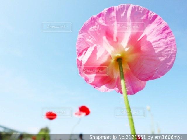 ピンクの傘のある花の接写の写真・画像素材[2121661]