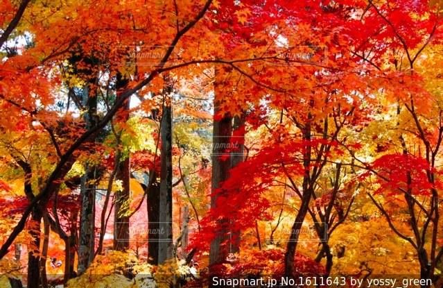 乱れ紅葉の写真・画像素材[1611643]