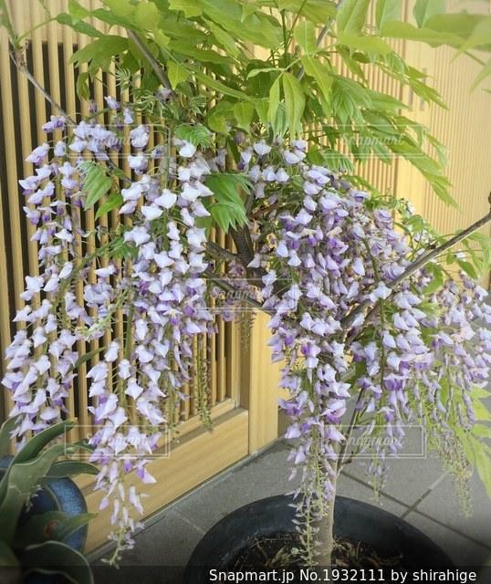 玄関先で咲いた藤の花の写真・画像素材[1932111]