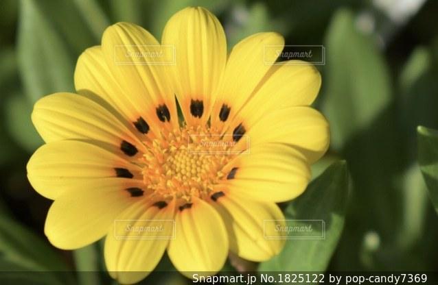 黄色のガザニアの写真・画像素材[1825122]