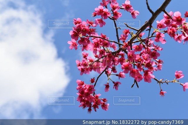緋寒桜の写真・画像素材[1832272]
