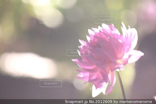 夜に咲くダリアの写真・画像素材[2012609]