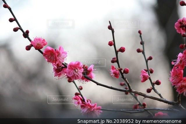 紅梅の写真・画像素材[2038952]