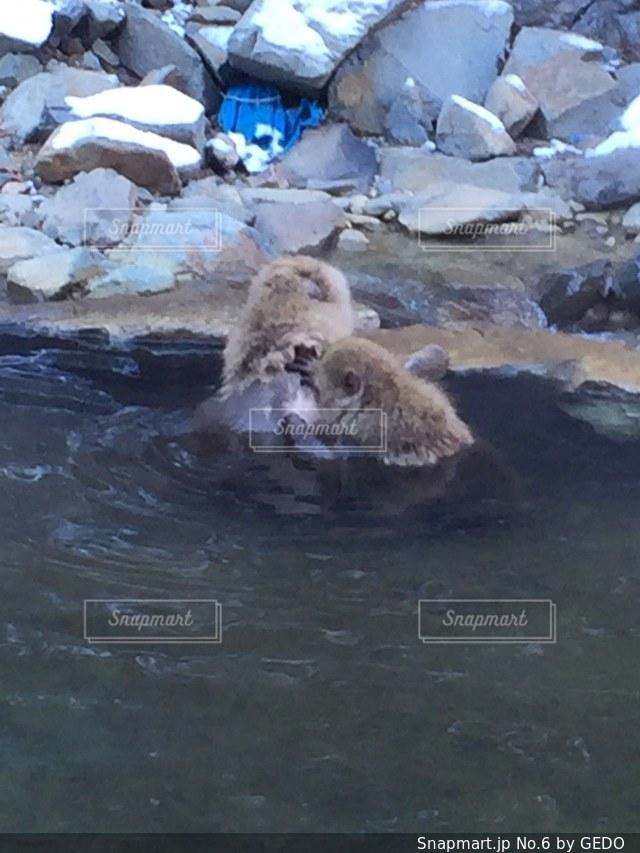 水中を泳ぐヒグマの写真・画像素材[6]