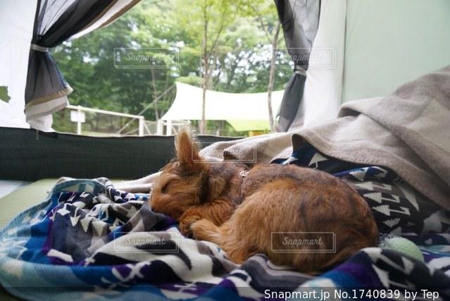 キャンプ犬の写真・画像素材[1740839]