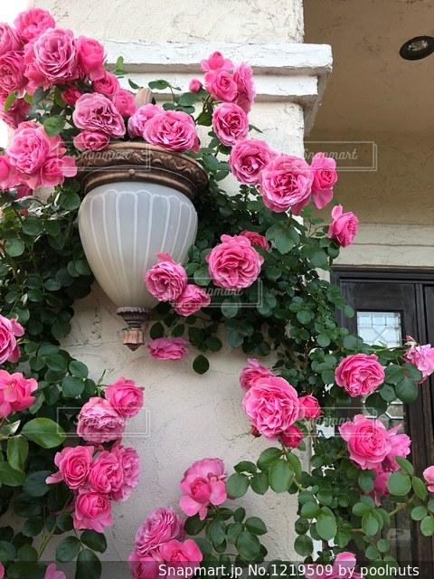 薔薇の写真・画像素材[1219509]