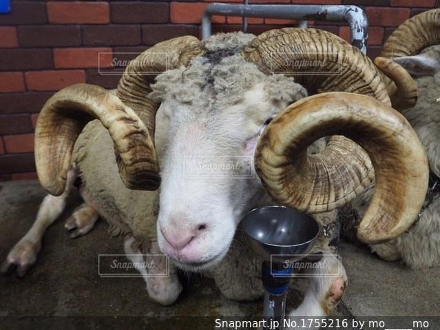 大きなツノの羊の写真・画像素材[1755216]