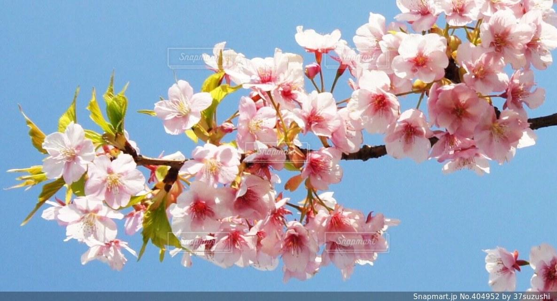 花,春,桜,ピンク,植物,お花見