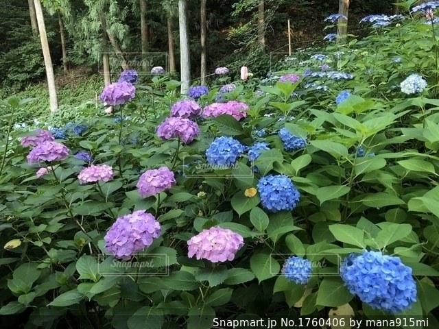 紫色の花の写真・画像素材[1760406]