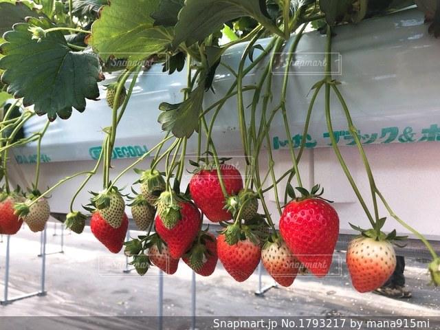 近くに赤い果実のの写真・画像素材[1793217]