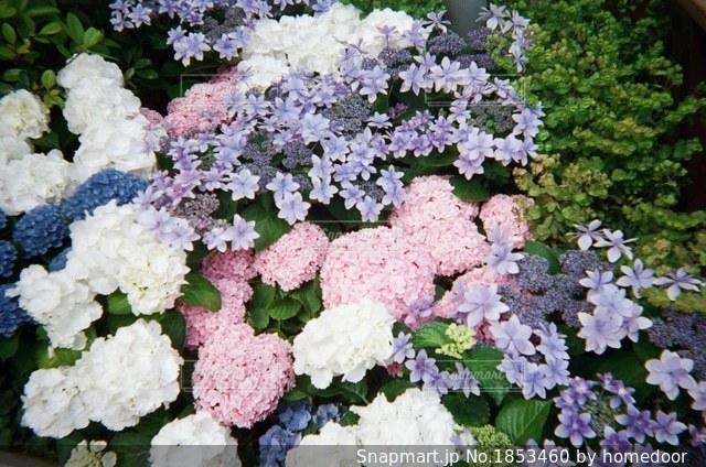 あじさい 花壇の写真・画像素材[1853460]