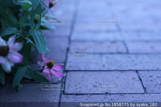 山下公園のコスモスの花の写真・画像素材[1858775]