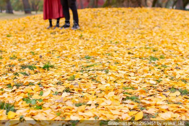 京都御苑のイチョウの落ち葉とカップルデートの写真・画像素材[2953451]
