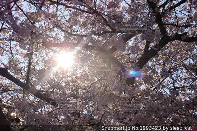 太陽光が漏れる桜の木の写真・画像素材[1993423]