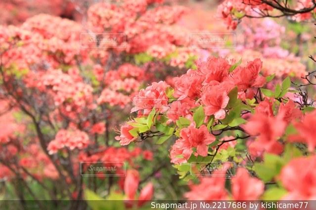 赤いツツジの花の写真・画像素材[2217686]