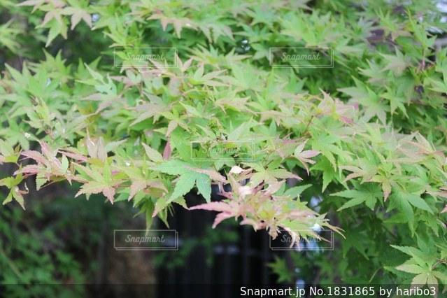 紅葉しかけのモミジの写真・画像素材[1831865]